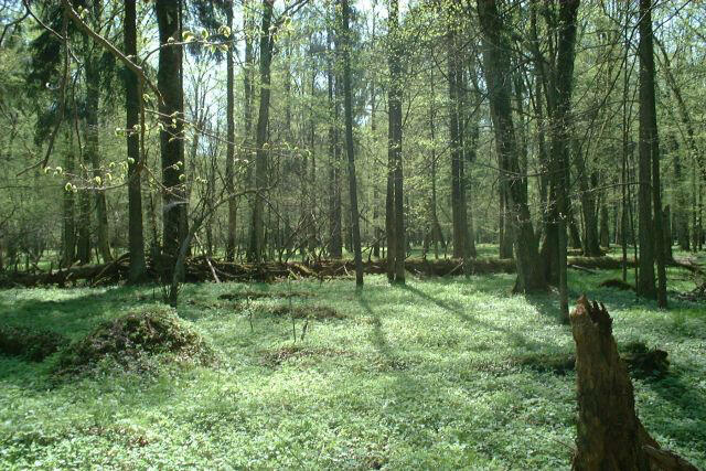 La forêt de Bialowieża en Pologne