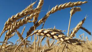 Il y a déjà moins d'épis par mètre carré et moins de grains par épis dans les champs de blé français.
