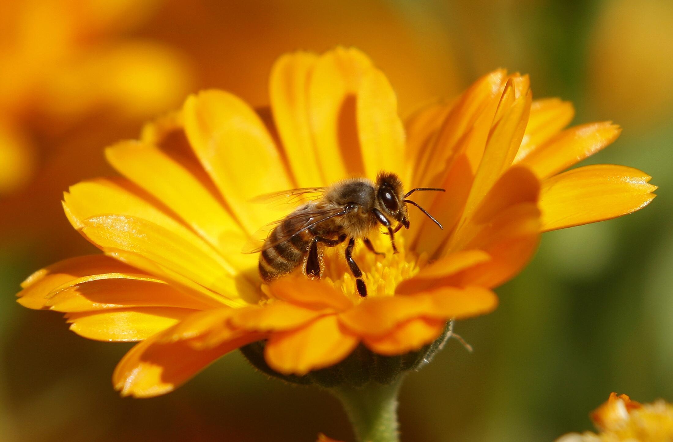"""Côn trùng cung cấp """"dịch vụ"""" thụ phấn cho khoảng 75% sản lượng nông nghiệp."""