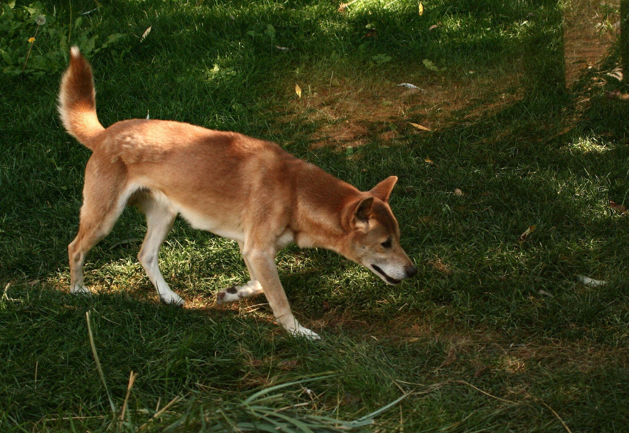 En Nouvelle-Guinée, le chien chanteur, que l'on croyait éteint, est réapparu.