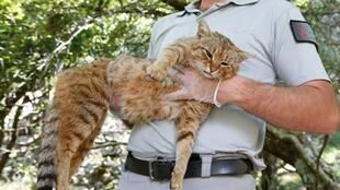 "An employee of the French Forest and Hunting Office Charles-Antoine Cecchini holds a ""ghjattu-volpe"" (fox-cat) on June 12, 2019 on the French Mediterranean island of Corsica."