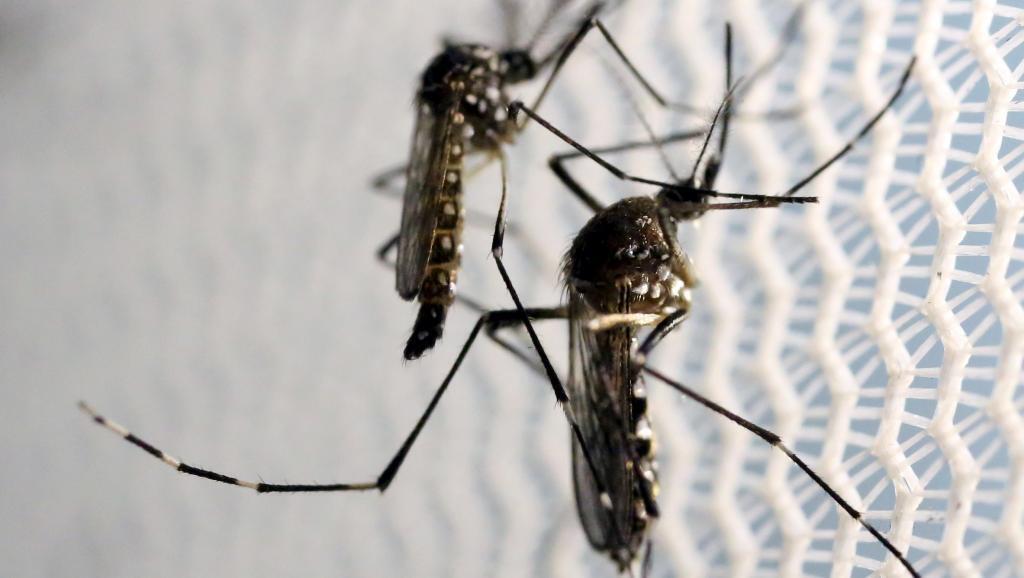 Aedes aegypti: o mosquito transmissor do vírus da zika.