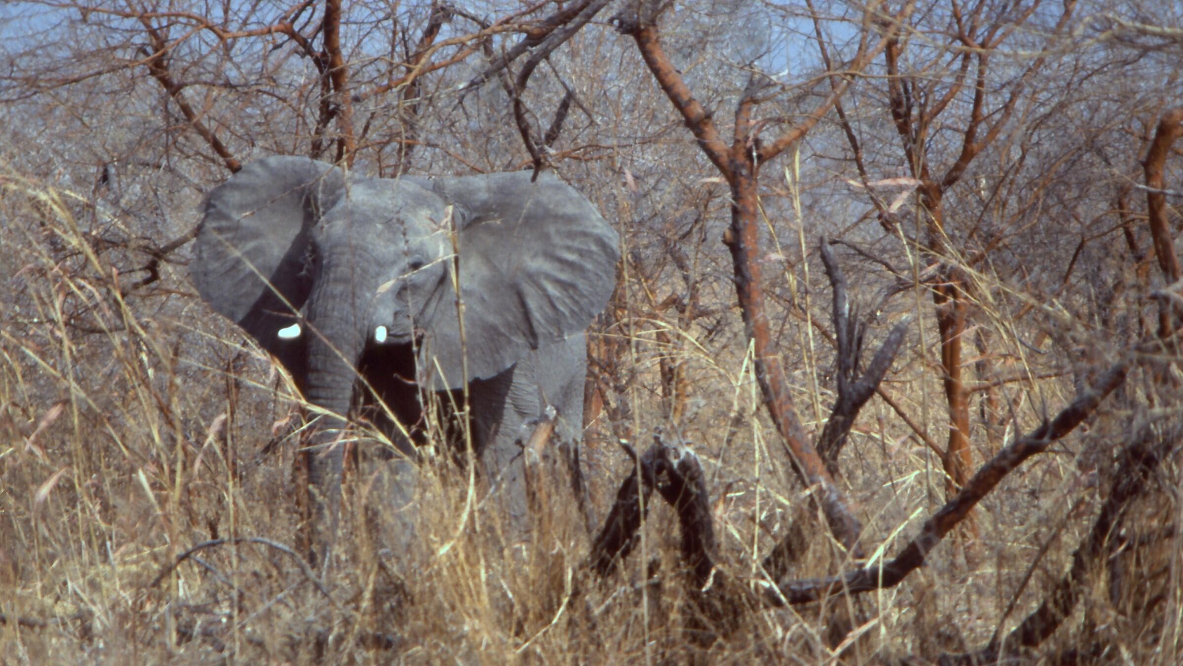 Un éléphant dans le parc national de Waza au Cameroun, d'où proviennent les éléphants aperçus au Niger (image d'illustration).