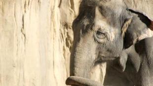 O elefante conseguiu escapar da jaula e atingiu um homem com uma trombada.
