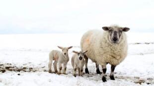 l'Irlande serait frappée deux fois : elle exporte beaucoup de viande bovine et ovine vers la Grande-Bretagne pour qui il pourrait s'avérer moins coûteux de faire venir de l'agneau de Nouvelle-Zélande ! . Photo : moutons du nord de l'Irlande.