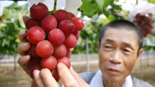 La variété de raisins « Ruby Roman » n'est cultivée que dans la préfecture d'Ishikawa au Japon. Le victiculteur Tsutomu Takemori présente une grappe de ces raisins, en août 2008.