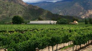 Vignes de Torrontés, dans la province de Salta.