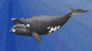 Baleine australe (dessin).