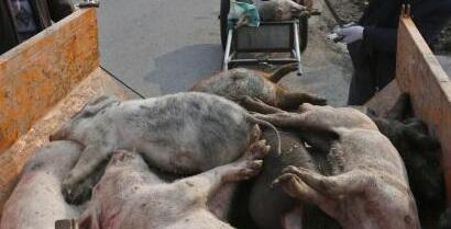 En China cientos de miles de cerdos han sido sacrificados