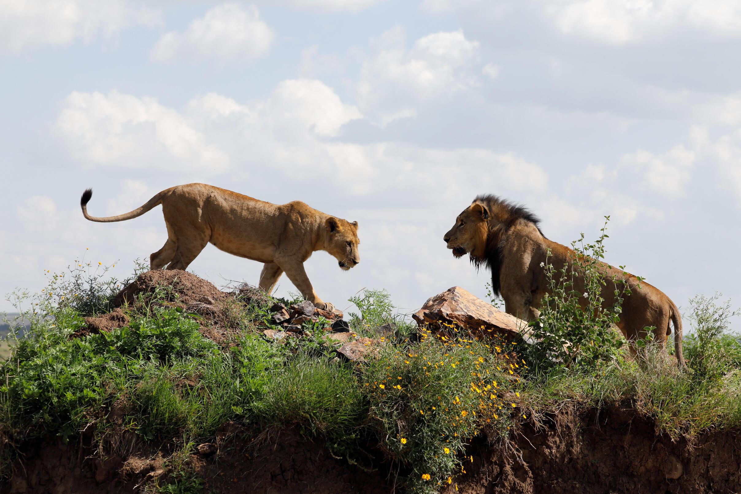 Un couple de lions au Nairobi National Park, le 25 mai 2020.