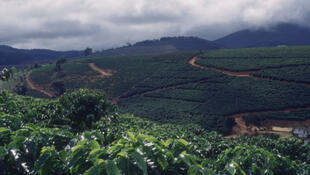 Uma plantação de café no Brasil.
