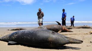 La muerte de pelícanos, piqueros y delfines en las costas de Perú obligó a las autoridades sanitarias a  recomendar a la población no acudir a las playas y evitar el consumo de pescado  como medidas preventivas.