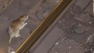 Il y a 2 millions de rats dans la ville de Wroclaw alors que la population humaine est de 630 000 habitants (image d'illustration).
