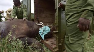 Le 26 juin 2018, le Kenya Wildlife Services a transféré des rhinocéros noirs du Parc national de Nairobi au Parc national de Tsavo-East afin de repeupler l'habitat du pays dont la population de rhinocéros avait été décimée notamment par le braconnage.