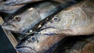 Pesca ilegal de atum representa, a cada ano, perdas de cerca de US$ 24 bilhões de dólares para o setor.