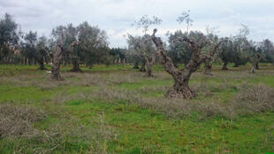 Des oliviers malades dans la région des Pouilles, au sud de l'Italie.