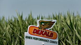 «Quand les résultats comptent» Dekalb, une marque de la société Monsanto sur un champ de maïs de Princeton, dans l'Illinois, aux Etats-Unis.