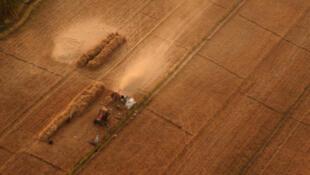 Des champs de blé aux abords de Louxor, en Egypte.