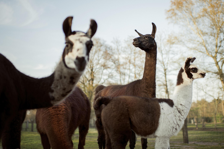 Lama_Winter_Coronavirus_Science_Covid19_Llama_Cure_Remede