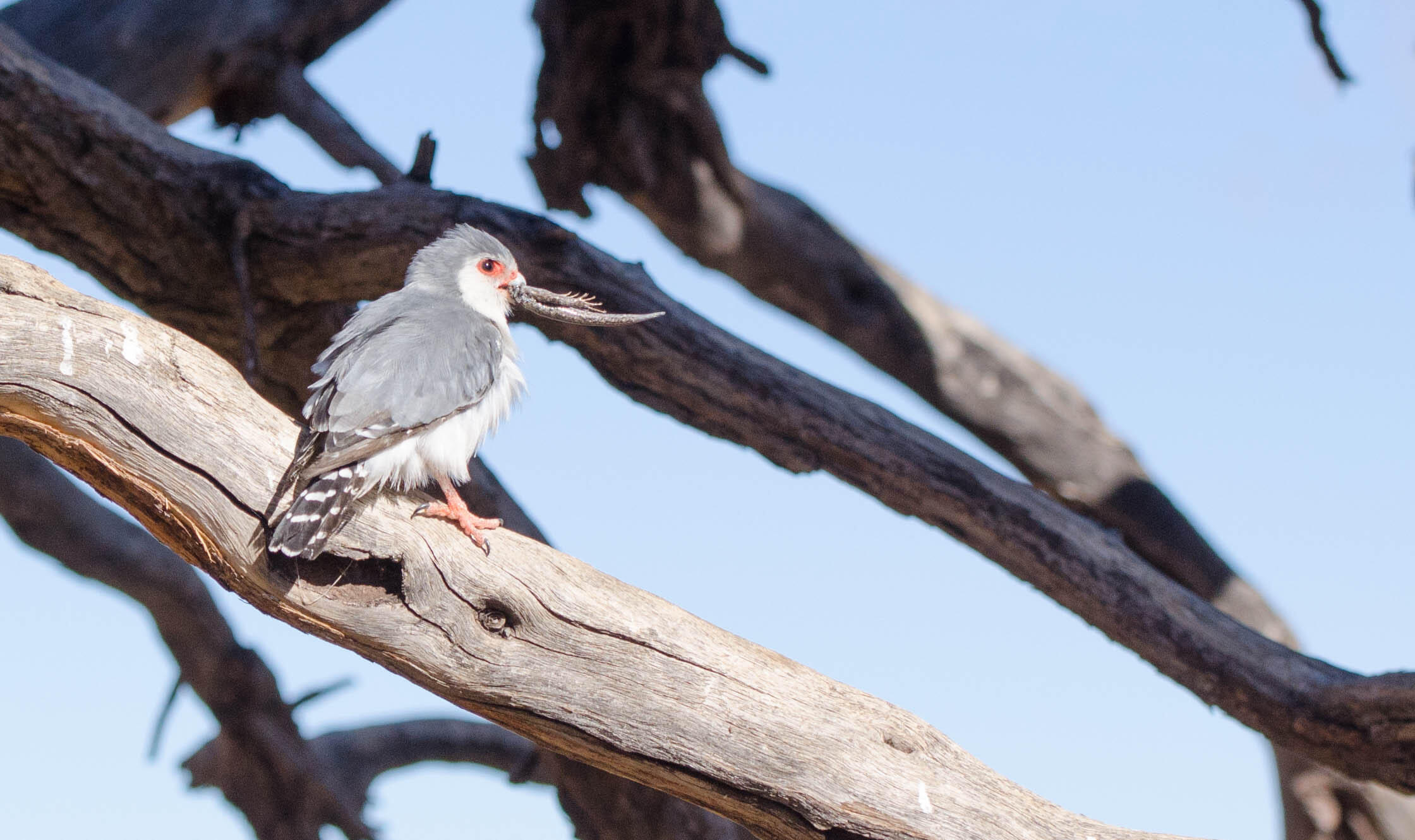 A pygmy falcon with lunch: a Kalahari tree skink.