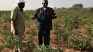 Des experts tchadiens inspectent des variétés de manioc dans la ferme expérimentale de Déli, au Tchad.