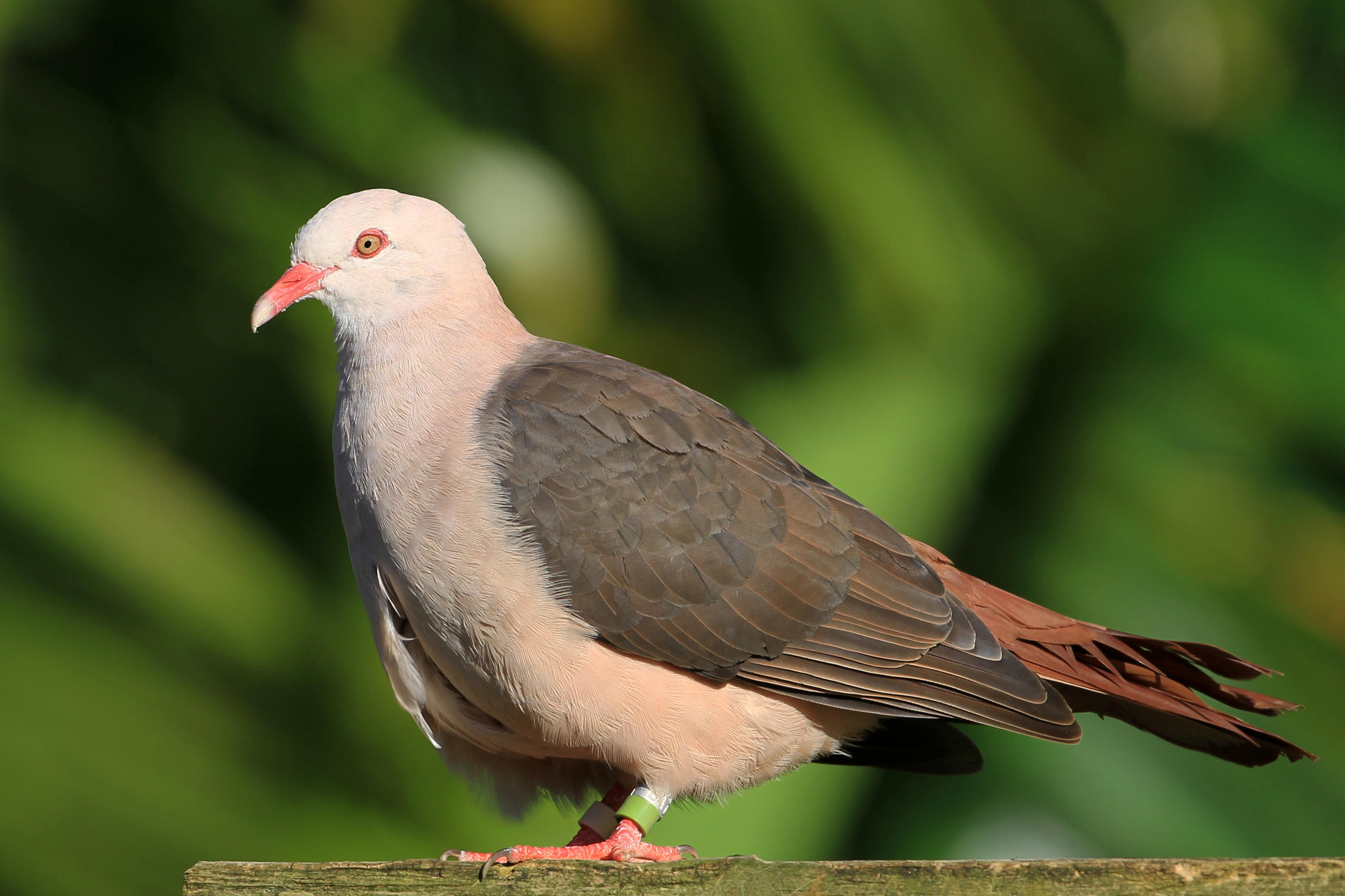 The vulnerable Pink Pigeon The Pink Pigeon, unique to Mauritius, has been restored from near extinction in 1990 to now reach a population of over 400.