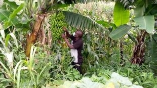Malawian banana farmer Masauko Maulidi inspects his crop. He was able to revamp his farm after being hit with Banana Bunchy Top virus.
