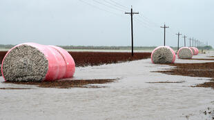 Des balles de coton fraichement récoltées dans les eaux à la suite du passage de l'ouragan Harvey au Texas, le 26 août 2017.