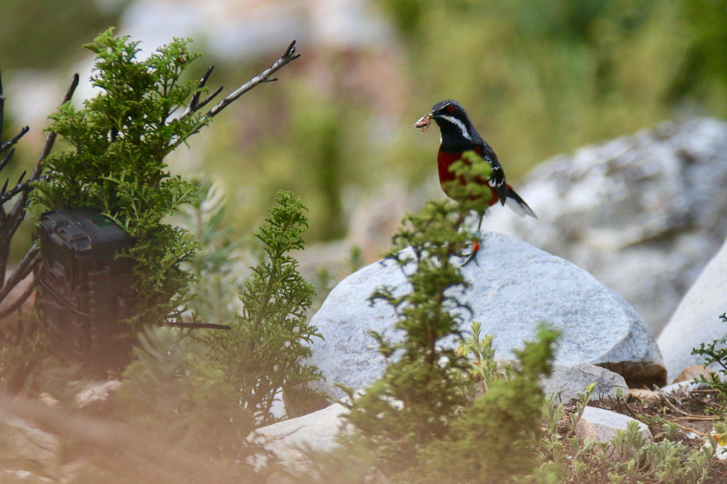 A Cape rock-jumper brings food to its nestlings in the fynbos while being monitored by a trail camera set up by the researchers