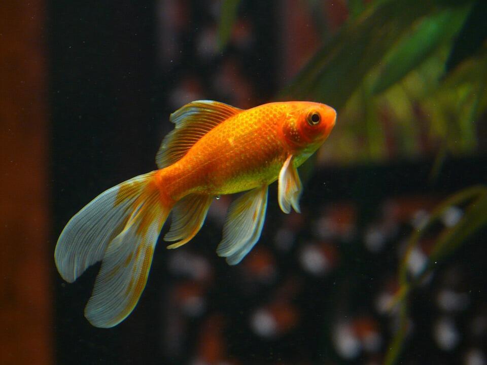 Золотые рыбки (carassius auratus) стали домашними больше тысячи лет назад