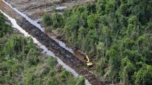 As plantações de óleo de palma estão a dizimar florestas.
