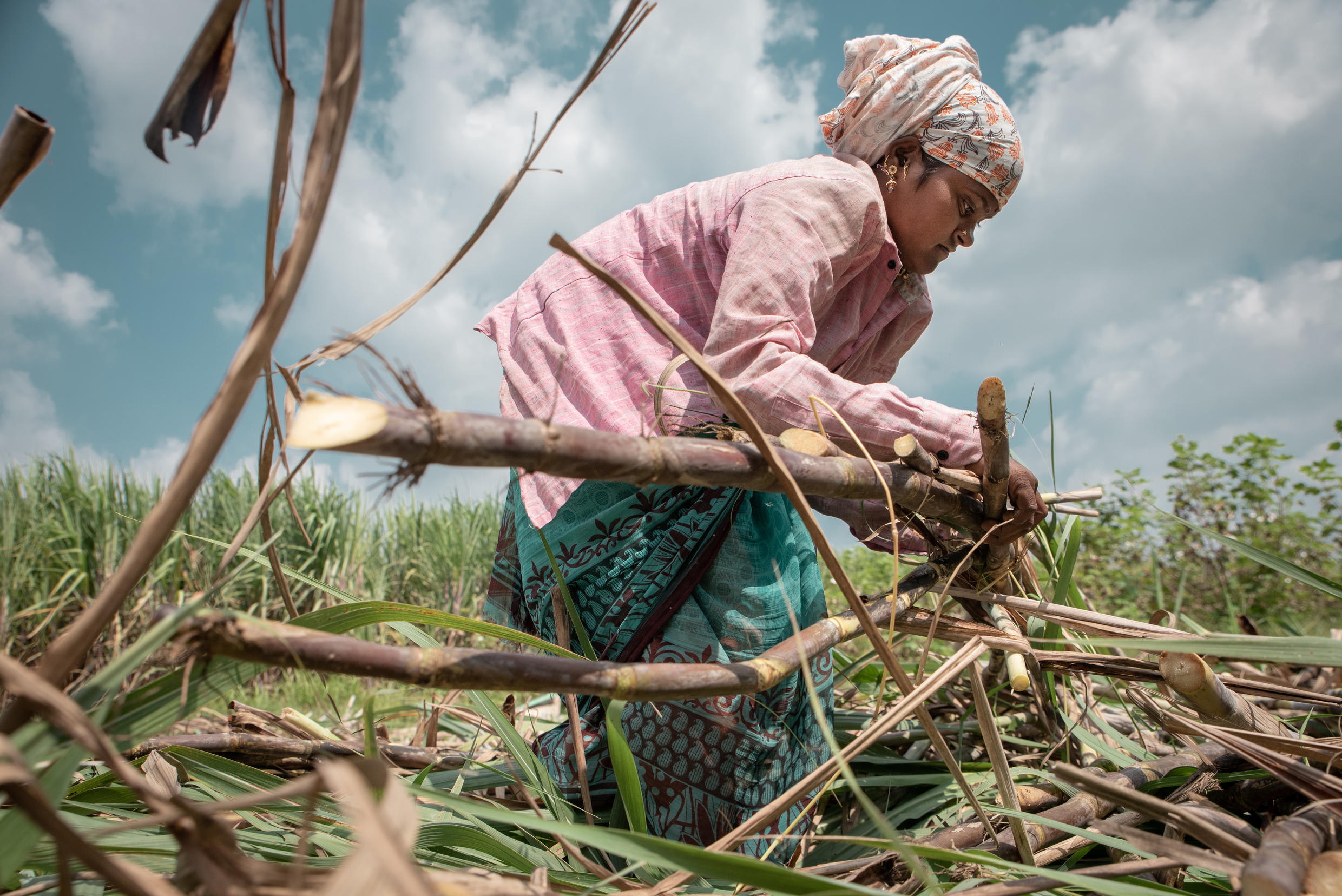 A young woman ties the cut sugar canes in Belgaum. A very physically demanding job.