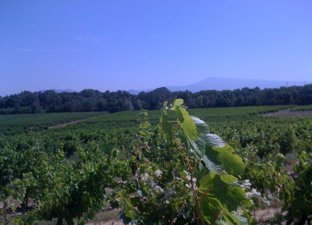 Le vignoble des Côtes-du-Rhône avec le mont Ventoux à l'horizon.