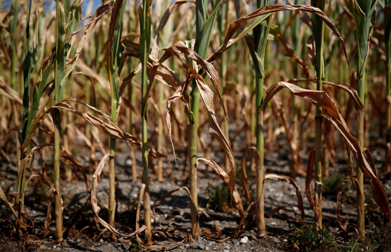 Los cultivos, como el maíz, sufren de la sequía en Francia.