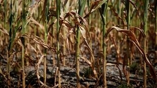 Maize crops are seen withering in the fields after weeks of intensely dry, hot weather, Nantes, July 2019