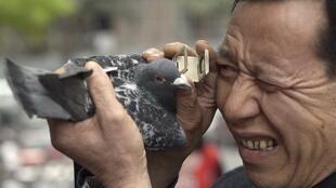 Một khách hàng kiểm tra chim bồ câu trước khi mua tại chợ ở Trùng Khánh, ngày 07/04/2013.