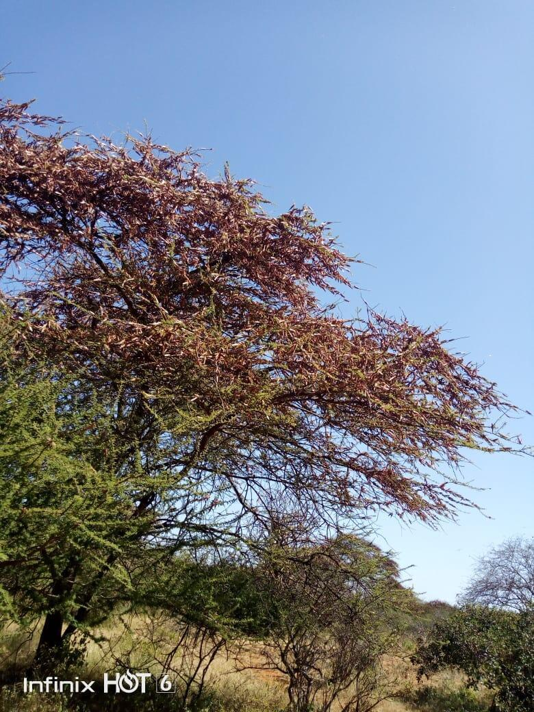A tree covered in locusts in Kenya.