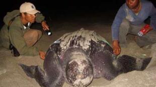 Les plages de Papouasie sont cruciales pour les tortues luth .