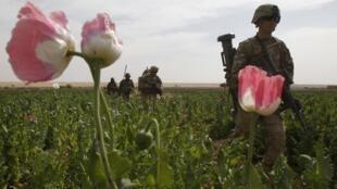 Des soldats américains traversent un champ de pavot dans la province de Kandahar, au sud de l'Afghanistan.