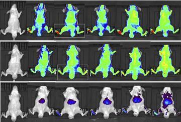 Imagem mostra que nanomedicamento contra a dor desenvolvido pela equipe francesa se concentra na pata do rato e não se espalha pelo organismo.