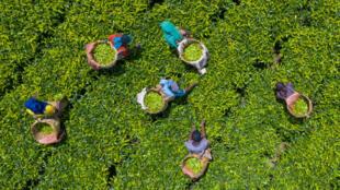 Plantation d'arbres à thé en Ethiopie.