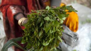Une femme tenant une botte de khat sur un marché de la Corne de l'Afrique (image d'illustration).