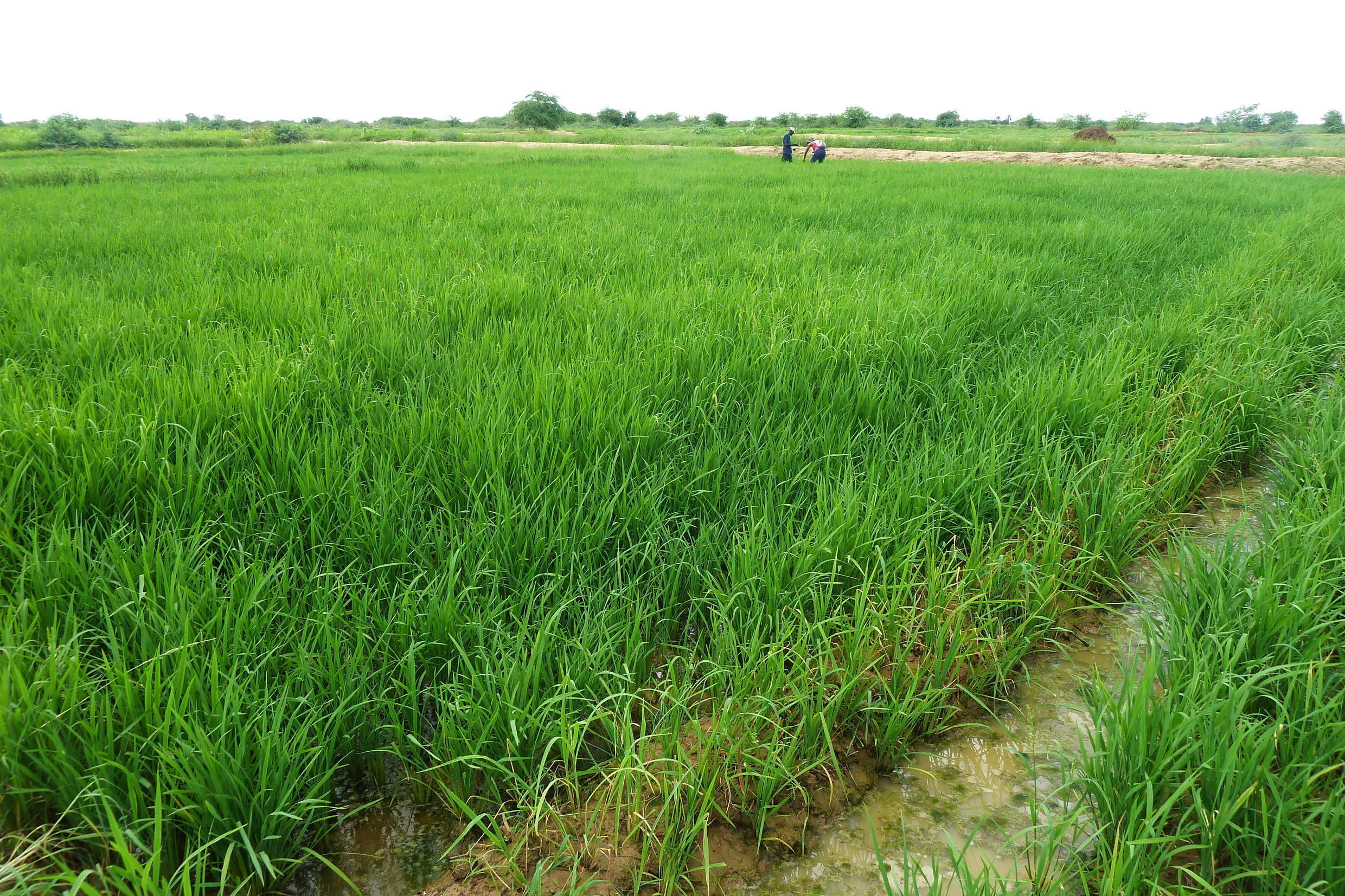 Irrigated rice field in the Senegal River Valley