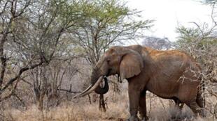 Les éléphants d'Afrique risquent de diparaître à l'état sauvage à cause du braconnage.