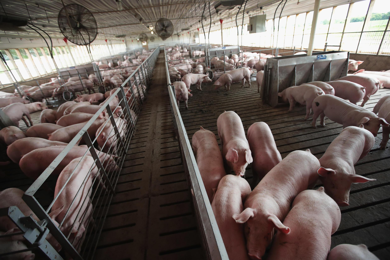Un élevage de porcs dans une ferme de Duncan, dans l'Illlinois aux Etats-Unis (image d'illustration).