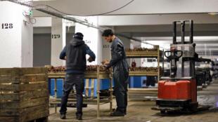 Des employés de la Caverne préparent des racines d'endive avant le forçage en sous-sol