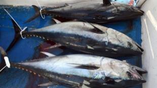 Le prix mondial du maquereau a grimpé de 35% par rapport à l'an dernier, le thon albacore et le thon blanc valent 40% de plus, le prix de la sardine s'est envolé de 50% !
