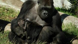 Una gorila llamada Jessica y su bebé de dos semanas en su recinto en el zoológico de San Diego, en el sur de California, el 13 de enero de 2015