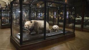 在巴黎自然歷史博物館展出的最早抵達歐洲大陸的熊貓標本,2019年6月。