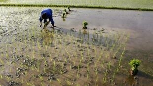 Nông dân cấy lúa trên một cánh đồng ngoại thành Hà Nội (Reuters)